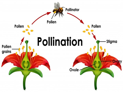 pollinatin