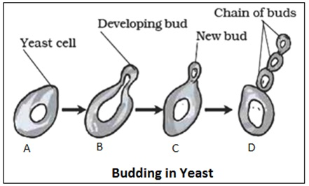Budding in Yeast and Hydra