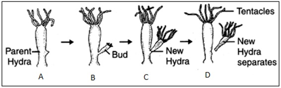 Budding in Yeast and Hydra2