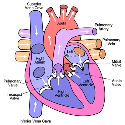 Internal Structure Of Heart