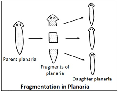 Regeneration in Planaria and Hydra
