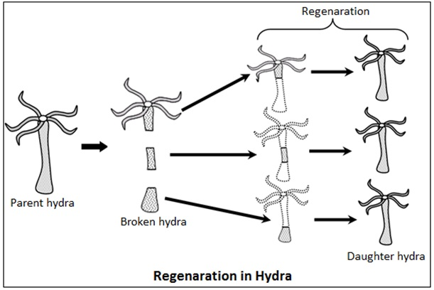 Regeneration in Planaria and Hydra2