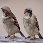 Two Little Dickey Birds